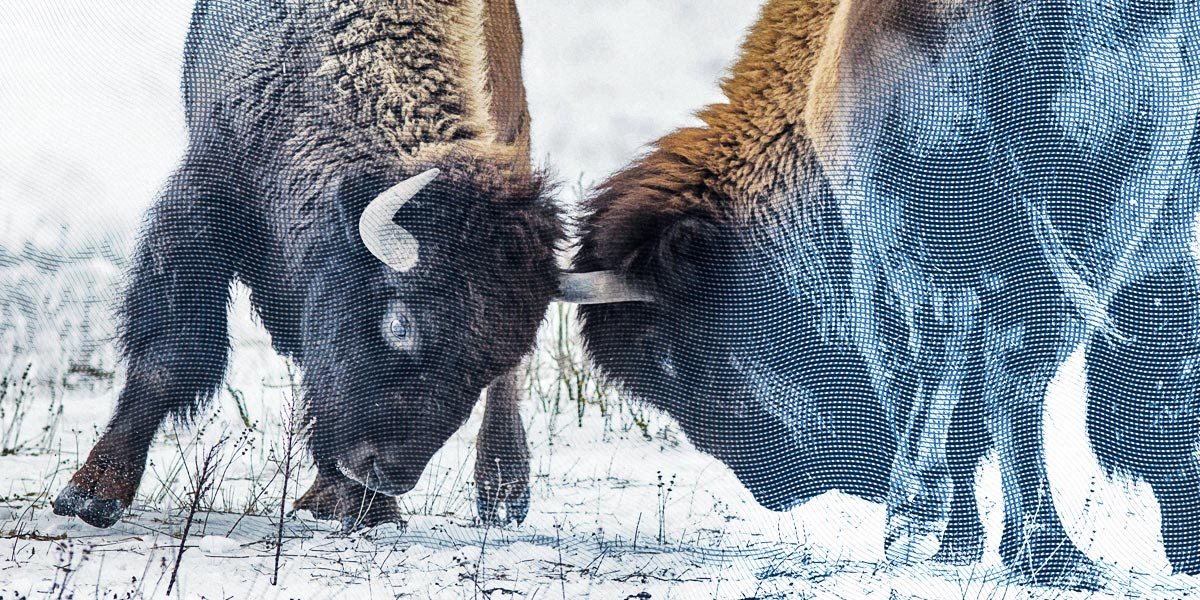 two bison in battle
